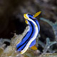 Elisabeth's chromodoris nudibranch