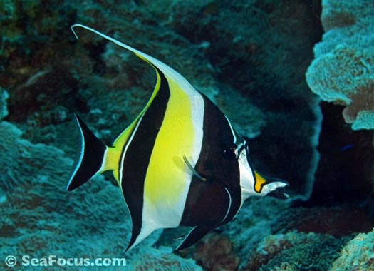 french angelfish in Grenada