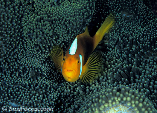 Clownfish – image gallery | marine species information ...