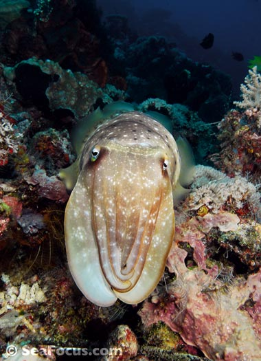 Cuttlefish – image gallery | marine species information | diving ...