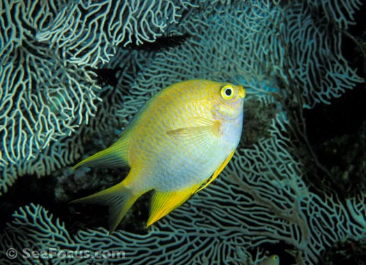 http://www.seafocus.com/species/Damsels/Damselfish01.jpg