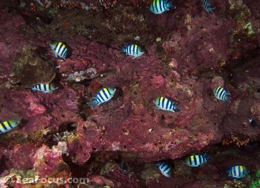 http://www.seafocus.com/species/Damsels/Damselfish06.jpg