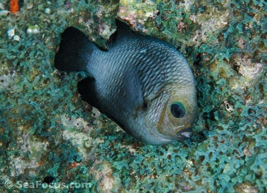 http://www.seafocus.com/species/Damsels/Damselfish07.jpg