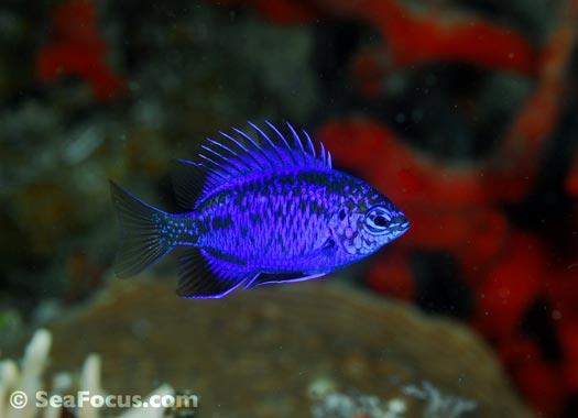 http://www.seafocus.com/species/Damsels/Damselfish09.jpg