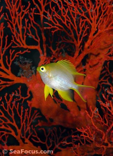 http://www.seafocus.com/species/Damsels/Damselfish11.jpg