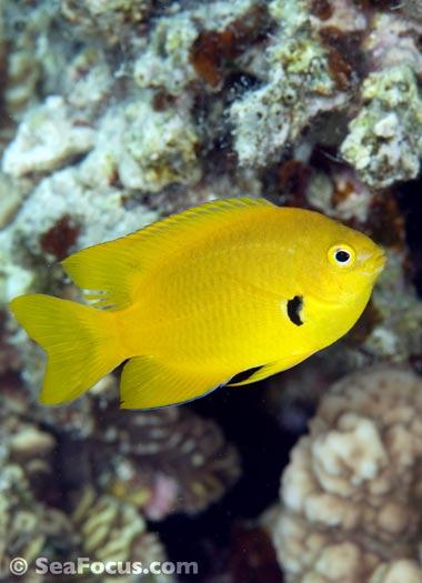http://www.seafocus.com/species/Damsels/Damselfish13.jpg