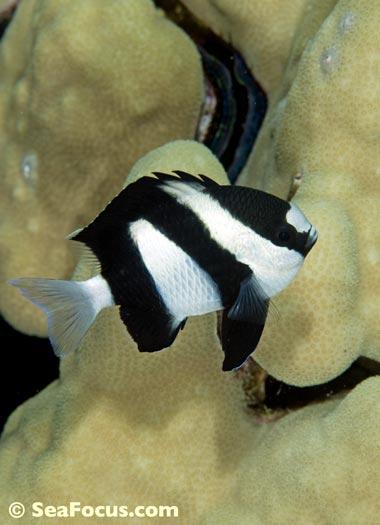 http://www.seafocus.com/species/Damsels/Damselfish14.jpg
