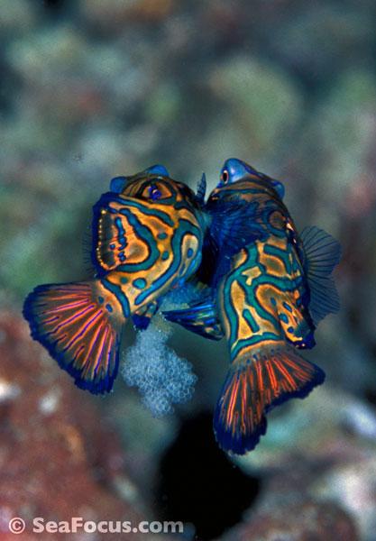 Dragonets and Mandarinfish - photo gallery mating mandrinfish ...