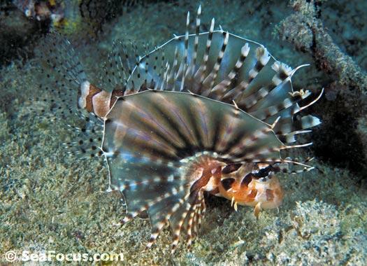 Lionfish – photo gal...