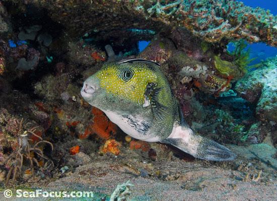 Pufferfish - photo gallery marine species information diving ...