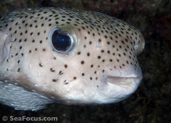 Pufferfish Photo Gallery Marine Species Information