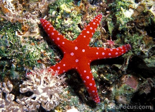 Starfish Photo Gallery Marine Species Information