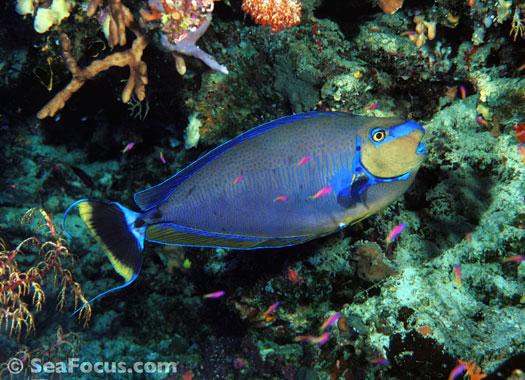 Surgeonfish – image ...